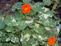 Varigated Nasturtium Graphic