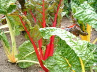 bright lights swiss chard photo