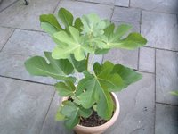 Potted Fig Tree Image