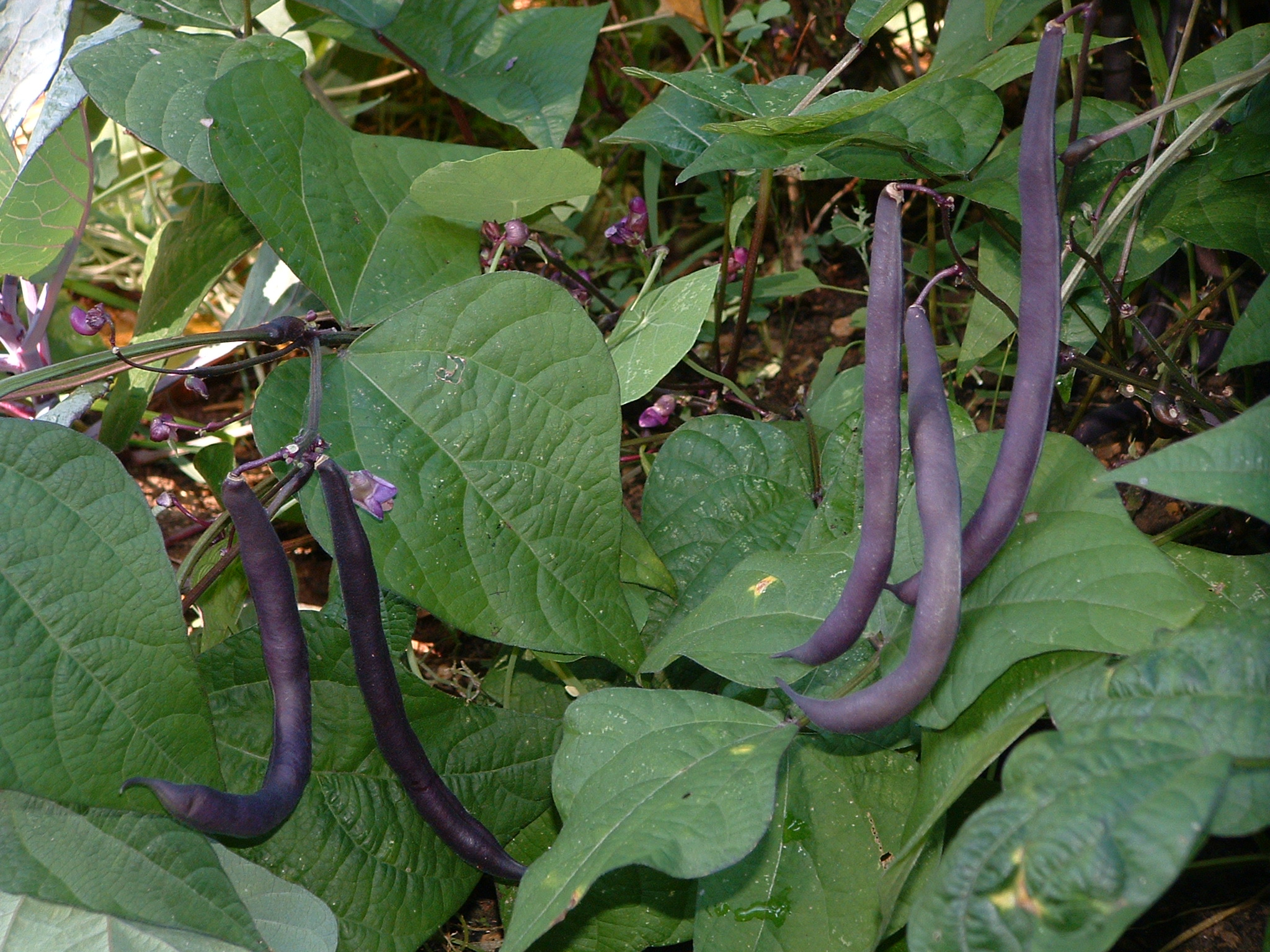 Royalty Purple Pod Beans