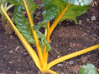 Yellow%20Chard Swiss Chard