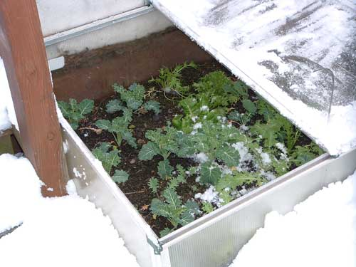 Winter Greens in Cold Frame