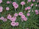 Chive Blossoms.thumbnail Garden Log 5 25 06