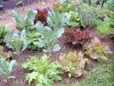 Lettuce and Broccoli Plants.thumbnail Garden Log 5 25 06
