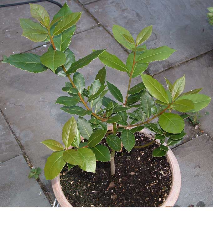 Bay Laurel Plants — Veggie Gardening Tips