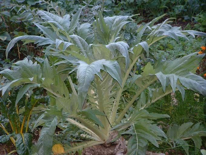 Cardoon Plant Fall Garden Revue