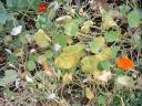 Frost Damaged Nasturtiums.thumbnail First Fall Frost
