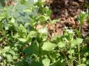 Chickweed Flowers and Buds.thumbnail Edible Chickweed