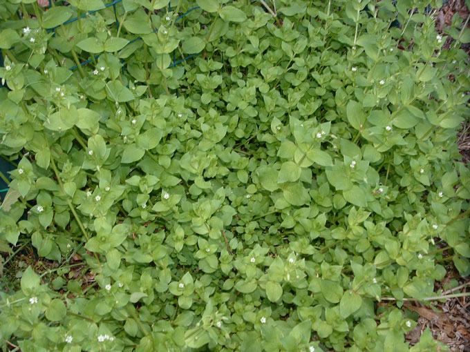 Chickweed is edible and grows everywhere apparently.