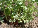 Lovage.thumbnail Garden Log 4 29 07