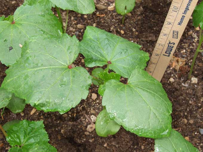 Caution: Slow Moving Okra — Veggie Gardening Tips