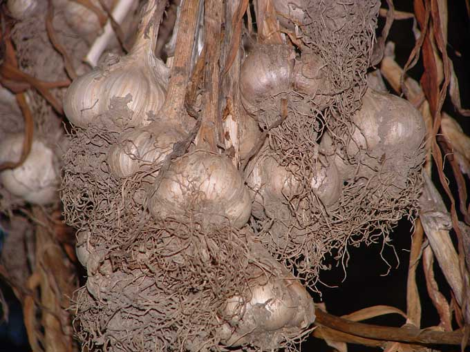 Curing Garlic — Veggie Gardening Tips