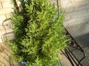 potted rosemary.thumbnail Rosemary