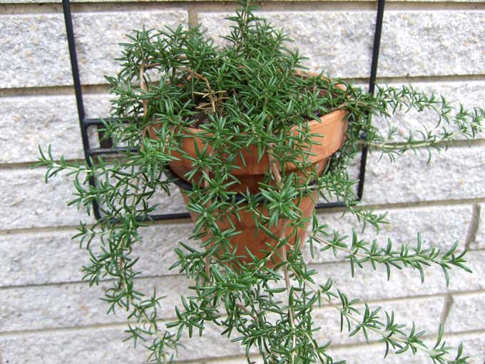 Of my list of favorite herb plants for the home garden it s right up