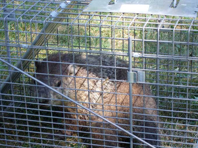 Best Hog Trap Bait http://www.veggiegardeningtips.com/how-to-quickly-easily-trap-nuisance-groundhogs/
