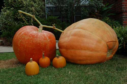 giant pumpkins In Pursuit of the Great Backyard Pumpkin