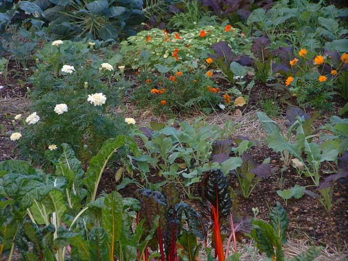 Marigolds Just A Pretty Flower Or Much More Veggie Gardening Tips