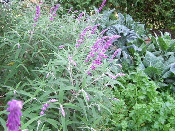 mexican sage Falls Arrival Doesnt Spoil a Vegetable Garden