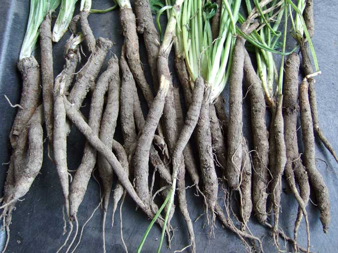 Jamie Oliver - Forums / Has anyone cooked with Salsify? - beta