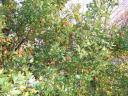 chinese date tree.thumbnail Unusual Jujube Fruits Earn a Second Opinion