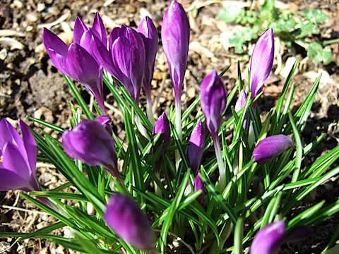Crocus Flowers.JPG
