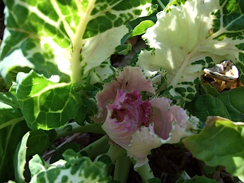 Variegated Collards.JPG