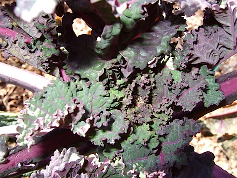 wild garden kale Winters Survivors Appear in the Spring Garden