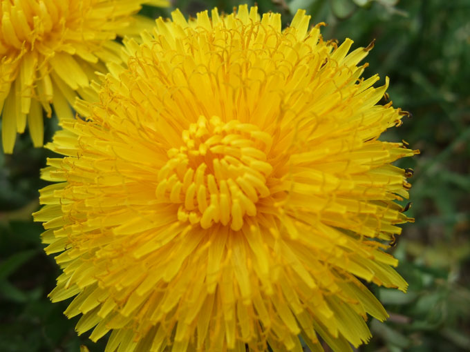 dandelion flowering weed