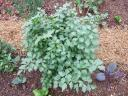 lovage plant.thumbnail Garden Log 4 28 08: Off to a Great Beginning