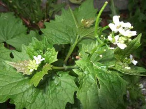 garlic mustard1 300x225 Garlic Mustard   Coming to a Garden Near You