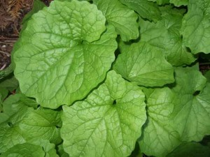 st year garlic mustard pla 300x225 Garlic Mustard   Coming to a Garden Near You