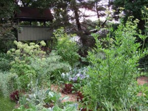 angelica parsnips and lova 300x225 The Garden's Tallest Plants; Battle Grande!