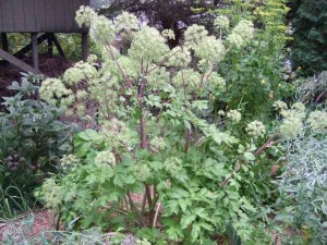 angelica plant 300x225 The Garden's Tallest Plants; Battle Grande!