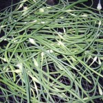 batch of garlic scapes 150x150 Garden Log 6 26 08: Summer Arrives All Too Soon