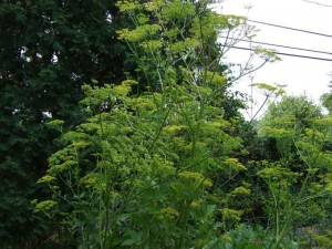 parsnip plants 300x225 The Garden's Tallest Plants; Battle Grande!