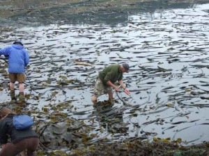 bullwhip kelp bed 300x225 Sea Vegetables: Harvesting Gifts from the Ocean