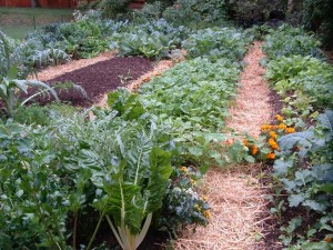 fall garden 300x225 Extreme Makeovers for Awesome Fall Vegetable Gardens