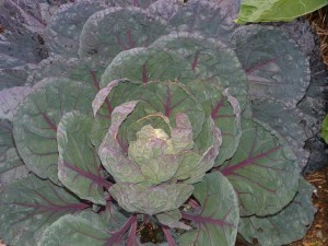 red brussels sprout plant2 300x225 Extreme Makeovers for Awesome Fall Vegetable Gardens