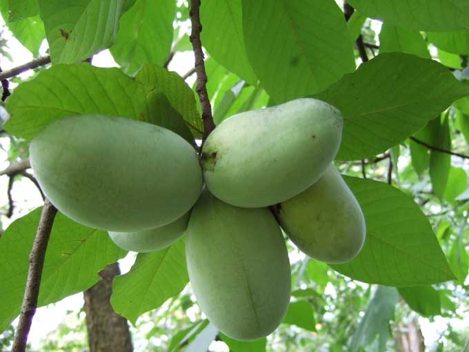 green fruits pawpaw fruit