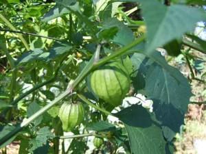 tomatillos 300x225 Whats a Tomatillo?