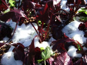 beet greens 300x225 Snowfall Marks Changing Times in the Veggie Garden