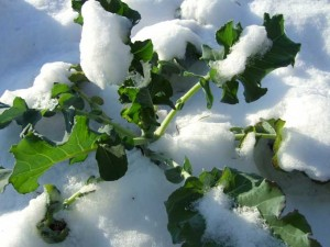 snow bound leafy greens 300x225 Snowfall Marks Changing Times in the Veggie Garden