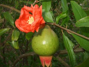 pomegranate-flower-and-fruit