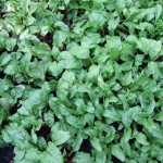 micro greens1 150x150 More Tips to Save Money by Growing Organically