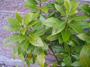 sick bay laurel tree 300x225 Distressed Bay Laurel Plants in Need of Assistance