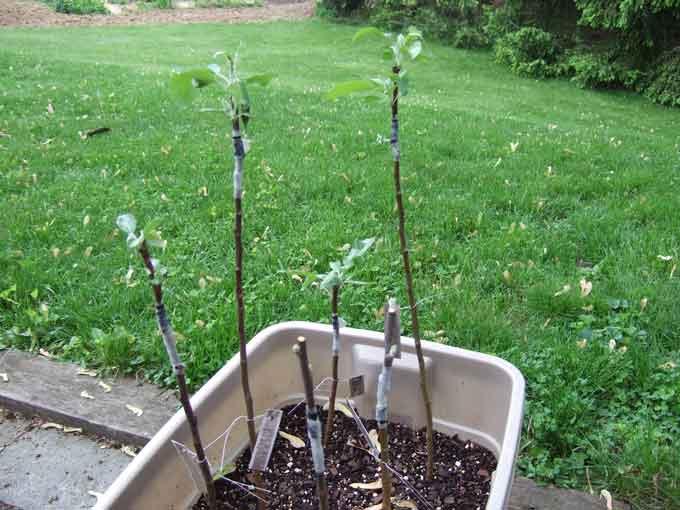 Grafting tree - Graft plum tree tips ...