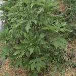 mystery plant full body 150x150 An Intriguing Mystery for the Plant Detectives