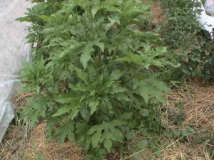 mystery plant full body 300x225 Giant Ragweed; the Mystery Plant Identified