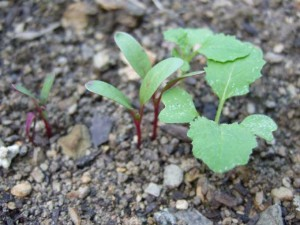 Beet-and-Turnip-Seedlings