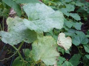 Diseased-Plant
